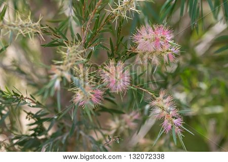 Closeup flower of Bottle brush (Callistemon) in sweet pink color blossoming in the garden with blurred background