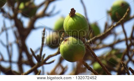 Strange fruits green and round in shape on a dry tree in the Indian tropics.