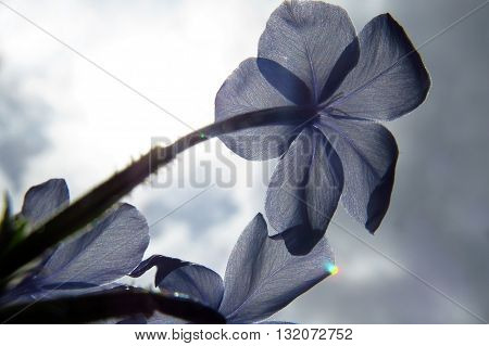 A delicate blue tropical flower against he background of bright summer sun.