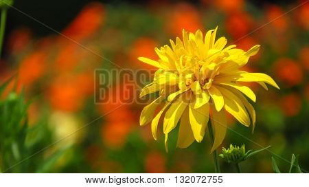 A beautiful yellow flower on the backdrop of blur orange flowrs in a tropical garden.