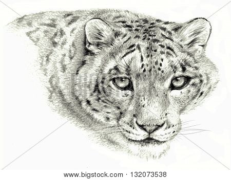 Pencil sketch - Isolated snow leopard`s head on white background