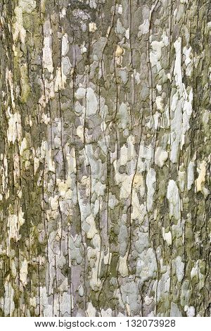 The bark on the trunk of an old maple. Details. Texture. The trunk of an old maple in early spring.
