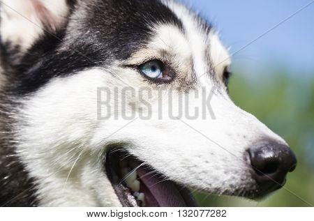 Muzzle of Siberian Husky close-up. Blue eyes of Siberian Husky.