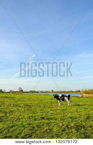 Picturesque landscape with a creek yellowed reeds and a blue sky in the fall season. One black and white cow stands in the grass.