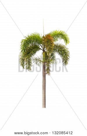 Foxtail palm tree isolated on white background. One palm tree.