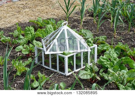Antique white cloche in traditional vegetable garden