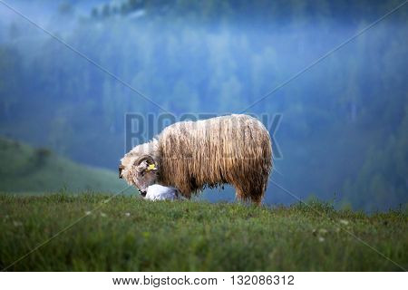 Sheep in the morning fog in the summer mountains
