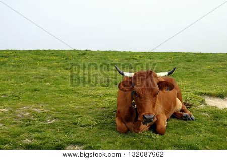 Tarine Cow In Savoy, France
