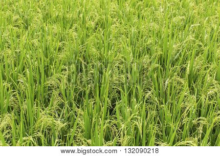 Field of green ears of rice at summer day.