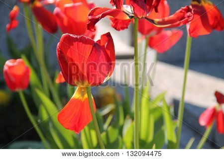 close photo of beautiful bright red blooms of tulips enlightened with the sun