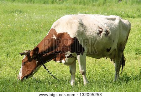 chained brown and white cow pasturing on the green meadow