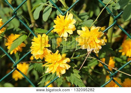 Close photo of bright yellow blooms of Kerria japonica growing through the fence