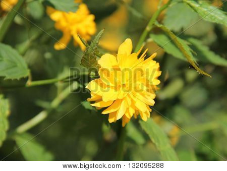 Close photo of bright yellow bloom of Kerria japonica