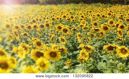 Sunflower Flower blossom in blossom Background nature