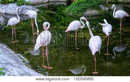 Performing herd flamingos with white body, long legs adorned pink flapper so beautiful, they live flocks and preserved national parks order to urging protection animal world in natural environment