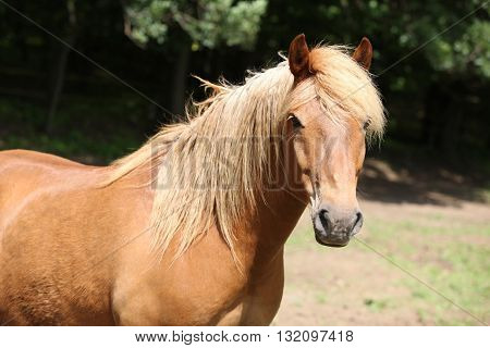 Lovely Chestnut Pony With Nice Mane Looking At You