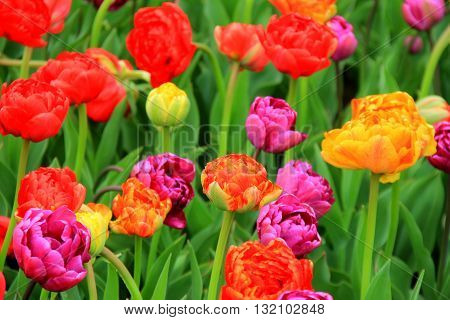 Gorgeous scene of bright and colorful tulips in landscaped garden