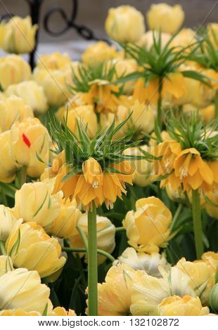 Yellow Crown Imperial tulips tucked into others in landscaped garden