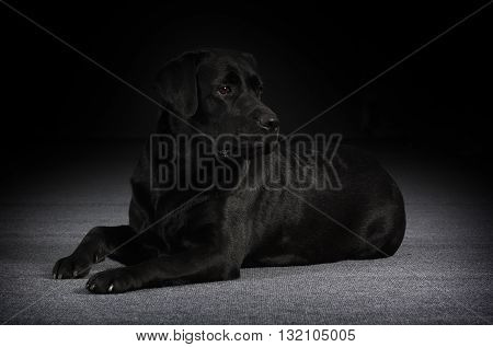 relaxed black dog Labrador Retriever lies on gray background in Studio