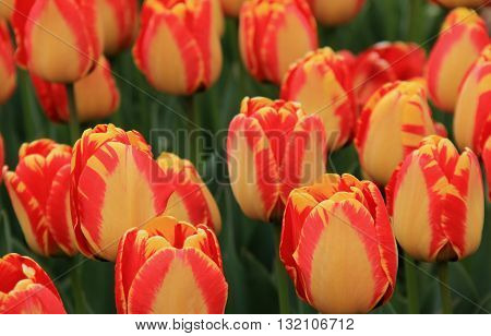 Beautiful yellow and peach striped tulips in landscaped garden.
