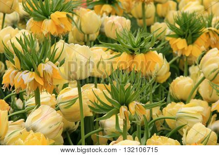 Beautiful landscape with Yellow Crown Imperial tulips tucked into other soft yellow tulips.