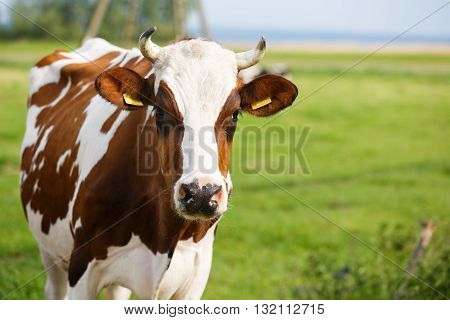 Portrait of the cow on the meadow summer time