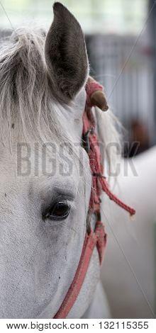 Lipizzaner Horse Eye