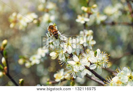 Concept of pollination by bees. A bee pollinates a blossoming cherry twig