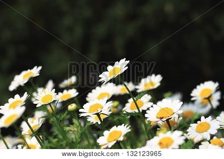 The Pale yellow chrysanthemums bloom at spring