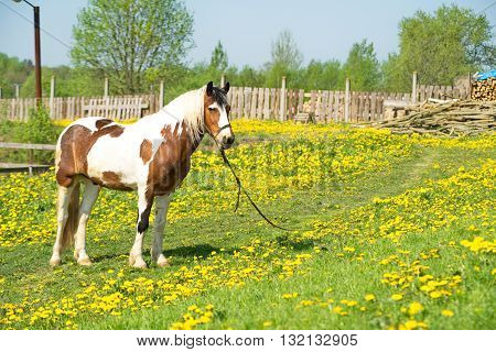 Beautiful driving horse on a meadow on roaming