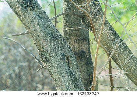 The trunk of tamarind tree in garden
