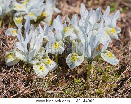 flowers spring the Iris nistriodes blue and purple with yellow dots very early spring Dwarf Iris bulbs Catherine Hodgkin bulbs a rare variety unusual blue bloom in April primrose spring garden garden awakening bed cold-resistant elegant streaks spots stri