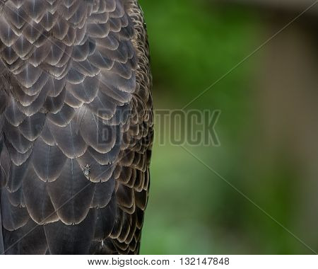 Bald Eagle Body Feathers with Copy Space to right