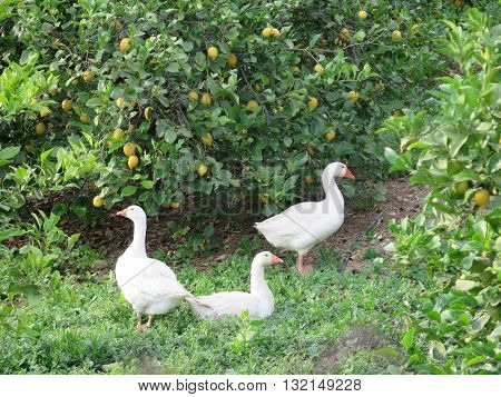 Three geese in Lemon Grove in Andalusia
