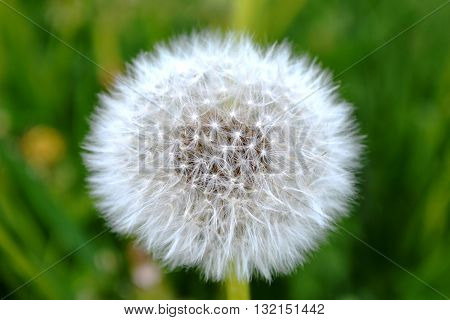 wildflowers white as down dandelion on the wild green field as background nature photography macro mice image