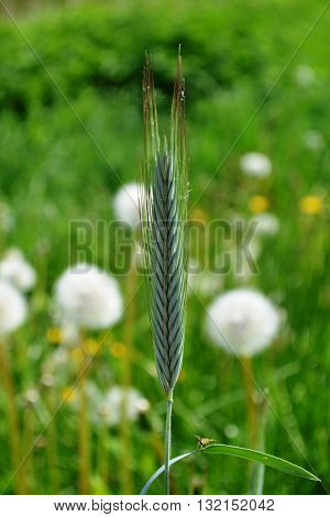 Rye spikelet on the field among the dandelions nature photography macro