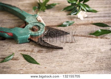 Old rusty pruning shears with leaves on wooden table