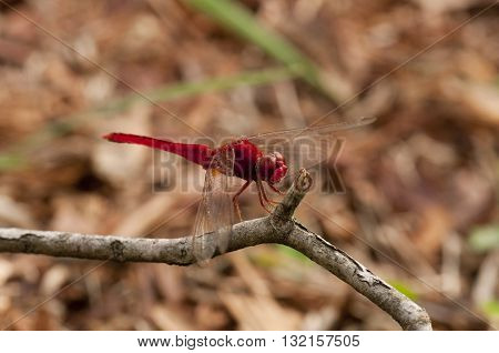 Common scarlet dragonfly is resting on a twig