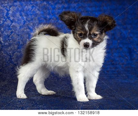 Cute puppy of the Continental Toy spaniel - Papillon - on a blue background