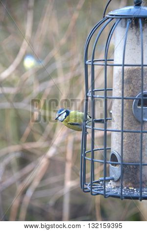 Blue Tit at a feeding station filled with bird seed.