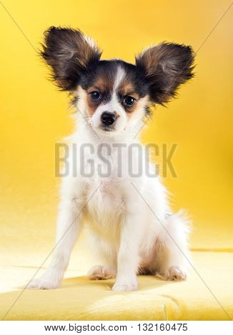 Cute puppy of the Continental Toy spaniel - Papillon - on a yellow background