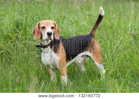 Beagle standing in a field. The dog looks around in search of prey.