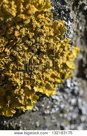 macro small yellow moss on cortex tree