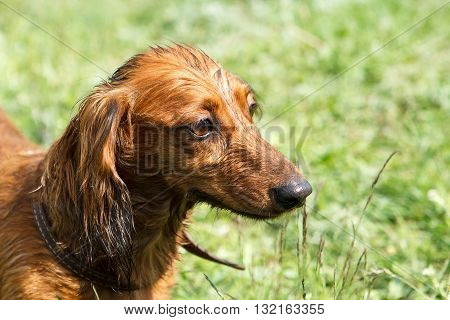 Ginger dachshund sitting in the middle of green grass.