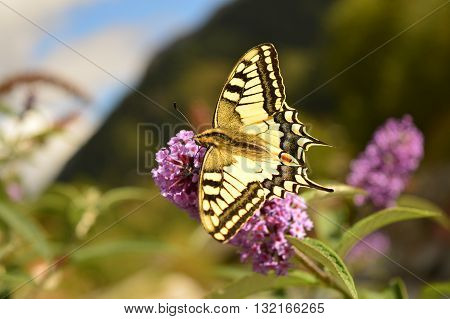 Butterfly feeding on nectar. Swallowtail (Papilio machaon).  Contamines Montjoie, Frankrijk