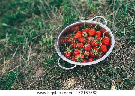 Bowl with freshly picked homegrown organic strawberries in garden
