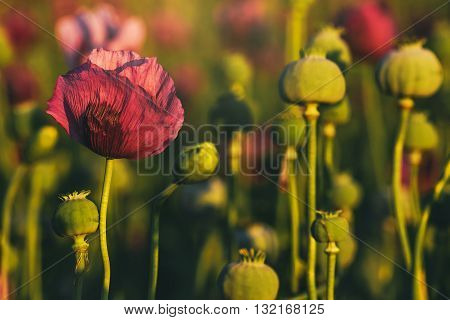 Retro toned opium poppy flower field in sunset selective focus