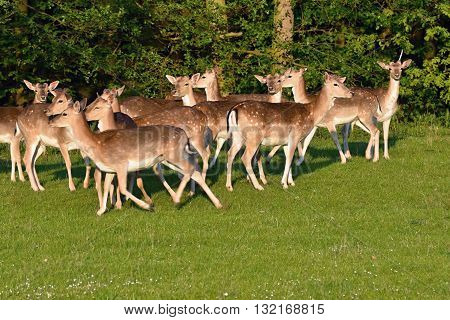Fallow - fallow deer. (Dama dama ) Beautiful natural background with animals. Sunset.