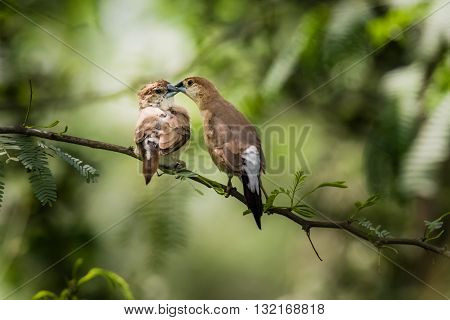Indian Silverbill (Euodice malabarica). The Indian silverbill or white-throated munia is a small passerine bird found in the Indian Subcontinent and adjoining regions