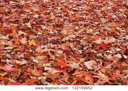 Background of brown orange and yellow fallen maple leaves on the ground.